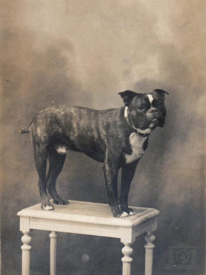 Hond op tafel Bulldog Foto S.D.F. Rolland, Photo Saintes France
