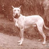 Deense Dog; Grand Danois; Great Danish; Kabinetkaart rond 1890 van K. Strempel , Wien